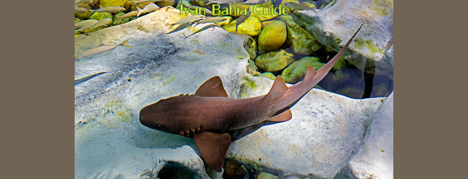 Baby sharks in the Projeto Tamar project in Praia do Forte, while visiting the irresistable Coconut Coast, with it's aphrodisiac beaches, during a day-trip with Ivan Bahia Guide, official private (and English speaking) tour guide/driver #IvanBahiaGuide #IvanSalvadorBahia #SalvadorBahiaBrazil #BahiaTourism #IBG #FotosBahia #SalvadorBahiaTravel #ToursByLocals  #IBTG #bahiametisse #gaytravelbrazil #tourismsalvadorbahia #BelgianBuggyAssociation #Kitebuggy #VoyageBresil #BresilEssentiel #SalvadorTourGuide #GuidedeTourismeSalvadorBahiaBresil #BrazilHoneymoon #dirkvankerckhove #TransatJacquesVabres #SailingBrazil #yourtoursbrazil #maurotours #bahiatopturismo
